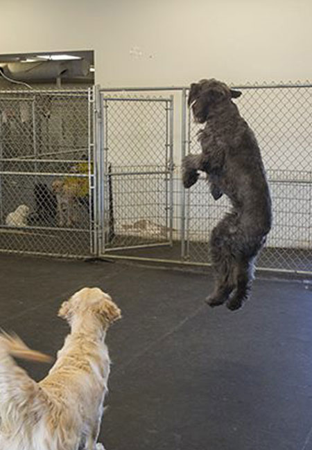 Dogs playing, K9 Club Dog Daycare, Edmonton, AB