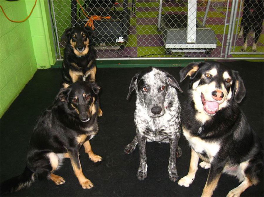 Dogs in a kennel in K9 Club Dog Daycare, Edmonton, AB