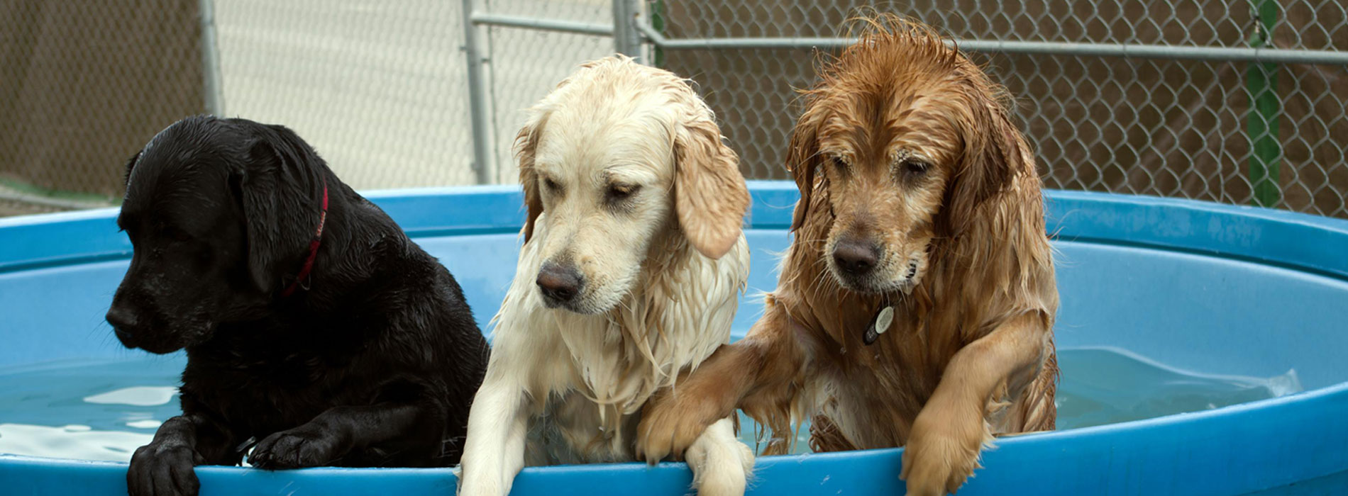 Dogs in a pool - K9 Club Dog Daycare, Edmonton, AB